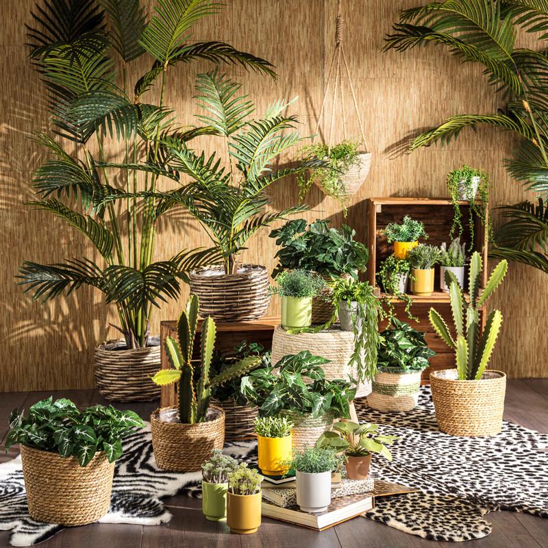 Pannenkoekenplant - 14 cm